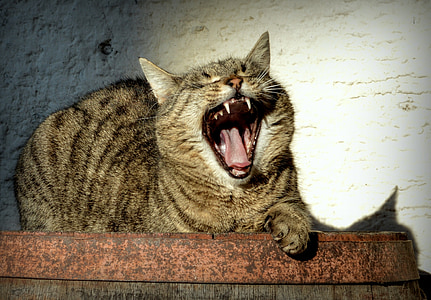 brown tabby cat opening mouth and lying