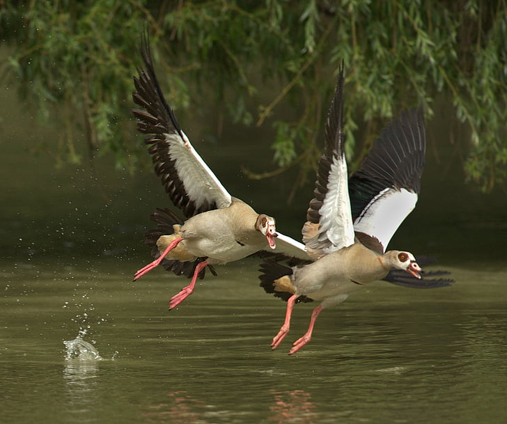 closeup photo of two geese flying above water