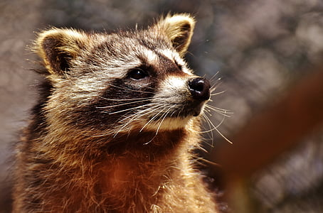 shallow focus photography of brown raccoon