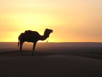 camel in dessert