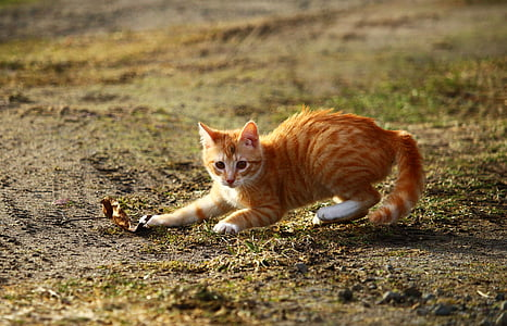 orange tabby cat playing outdoor