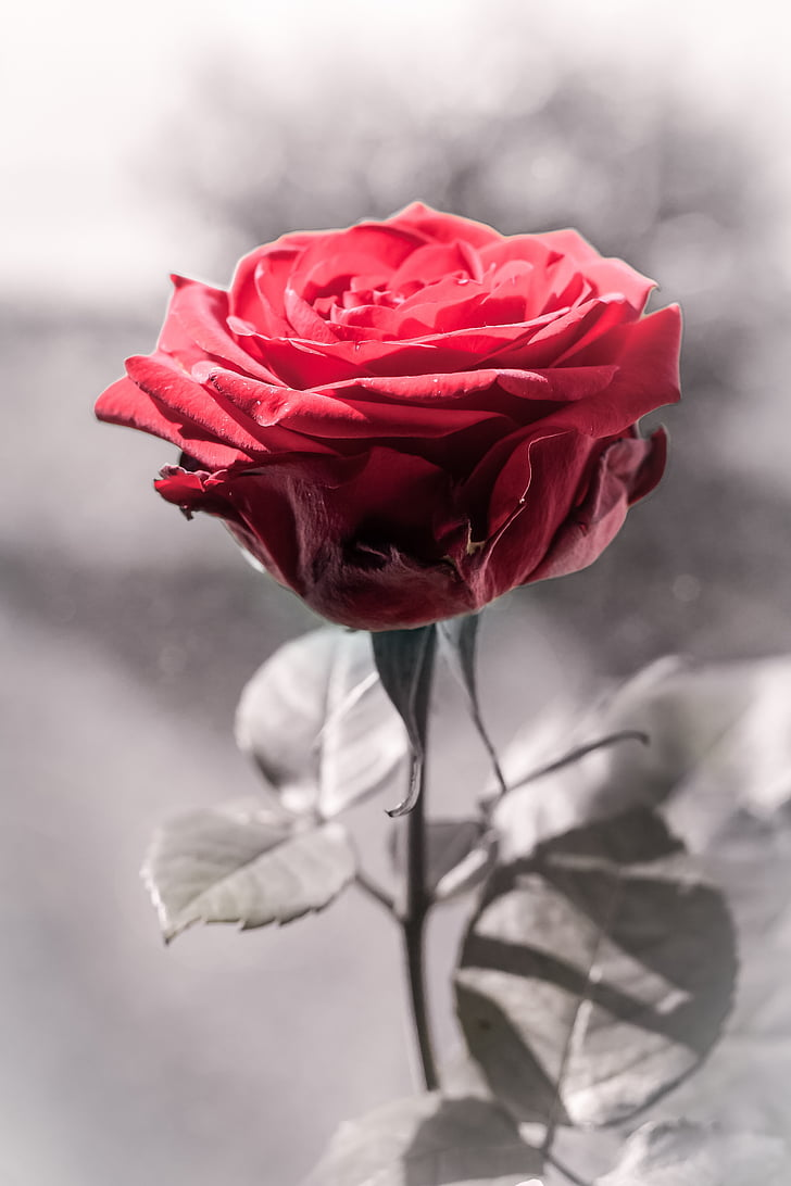 Royalty-Free photo: Selective color photo of red rose in bloom   PickPik