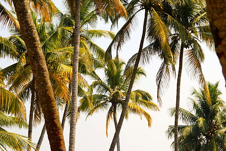 coconut trees under gray sky
