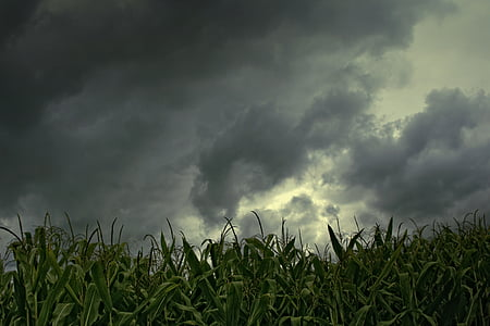 clouds above green corn plant panoramic photography