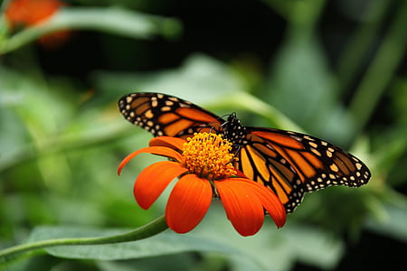 monarch butterfly perched on red petaled flower in closeup photography