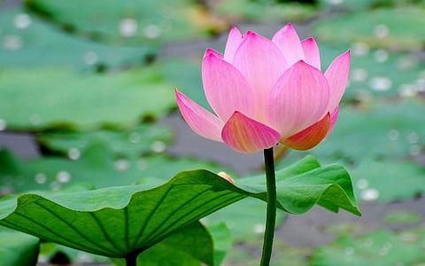 pink lotus flower in full bloom