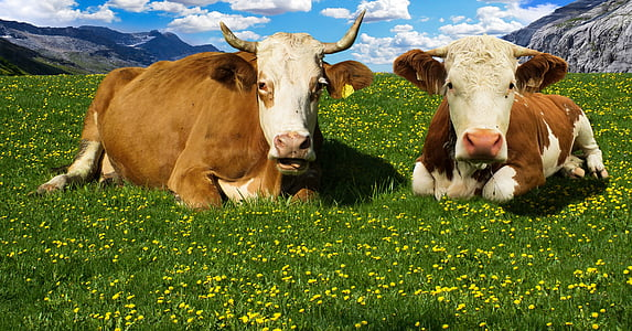 two brown-and-white cows on grass fields
