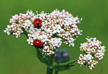 two ladybug on flowers