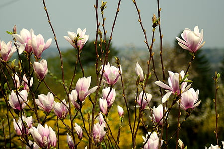 pink Chinese magnolias in bloom at daytime