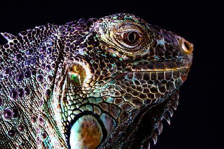 close up photo of iguana face