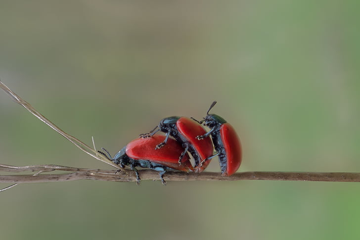 three red beetles perched on brown stem in closeup photography
