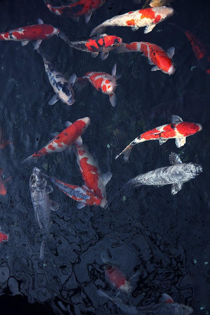 shoal of koi fishes