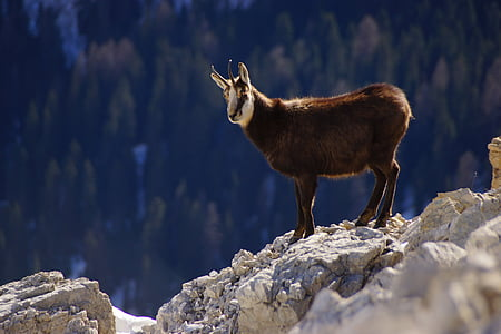 wildlife photography of brown and white mountain goat