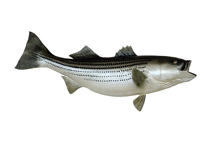 silver and black fish