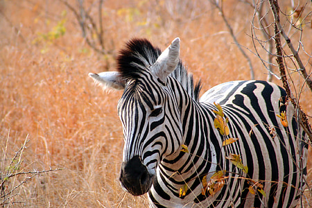 wildlife photograph of zebra