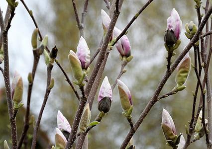 pink magnolias closeup photography