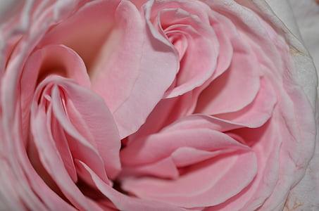 rose, rose petals, cup, flower, nature, pink