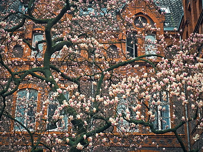 pink blossom tree in front of brown building