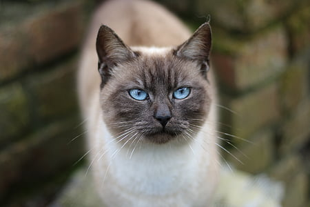selective focus photography of blue-eyes Siamese cat