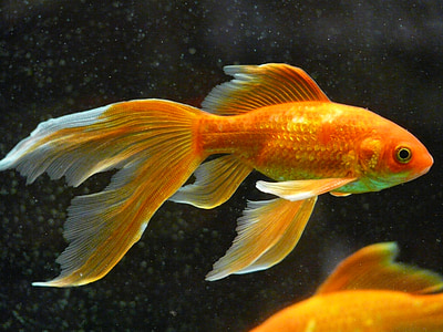 gold and white fish