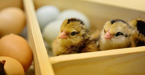 three brown chicks near eggs