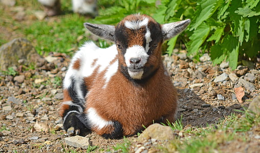 brown, white, and black goat