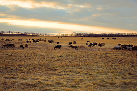 herd of stallions on steppe during golden hour