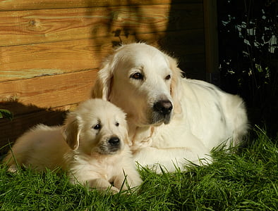 two golden retrievers on green grass