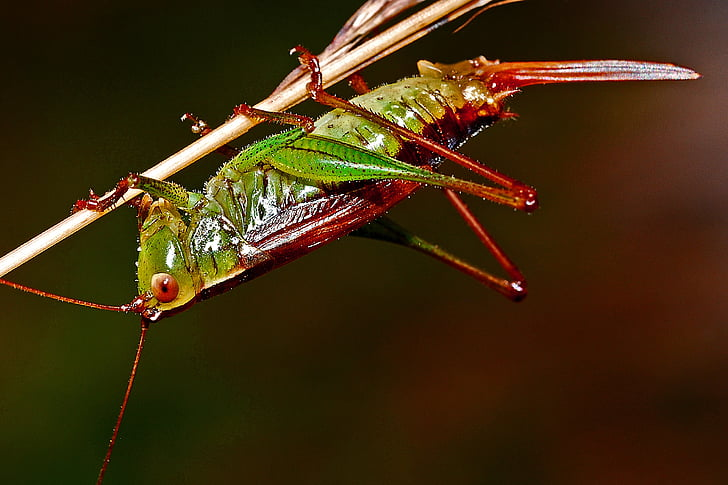 selective focus photo of red and green grasshopper perching on stem of plant