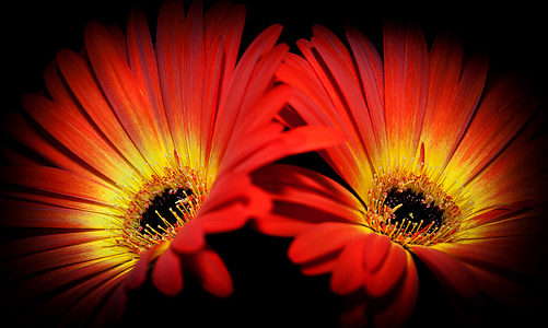 two red-and-yellow Osteospermum flowers close-up photography