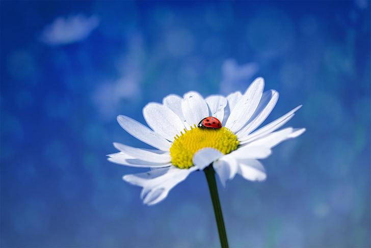 ladybug on white daisy flower druing daytime