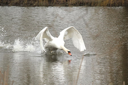 swan flying above body of water during daytime