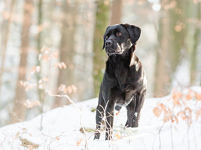 adult black Labrador retriever in forest