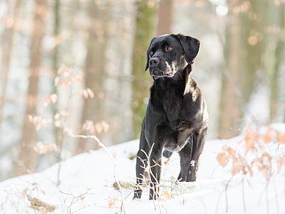 adult black Labrador retriever in forest