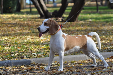 adult white and lemon beagle on road near the tree outdoor