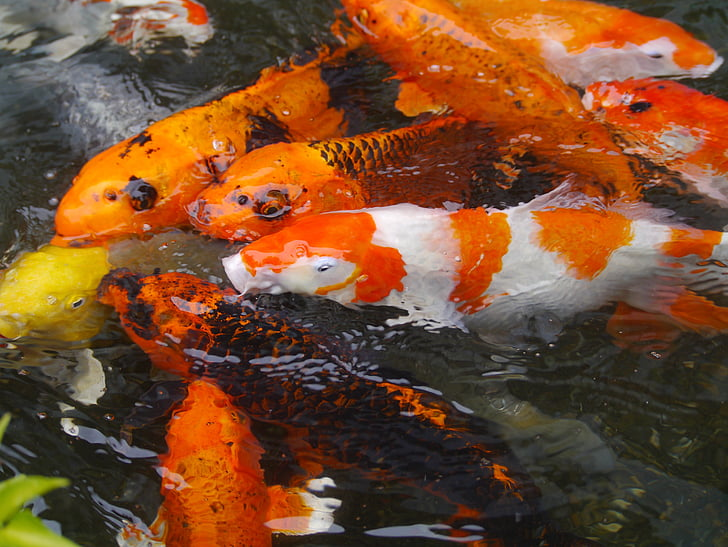 school of koi fishes