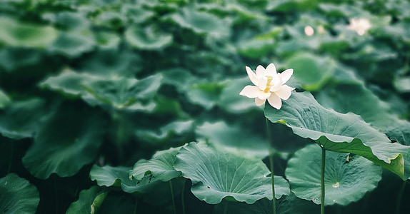 closeup photography of white lotus flower