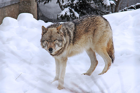 wolf standing on the ice field