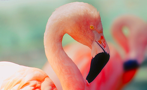 flamingo, bird, wildlife, colorful, colors, orange
