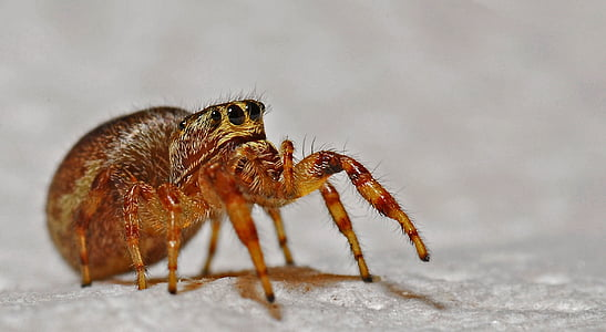 closeup photo of brown jumping spider