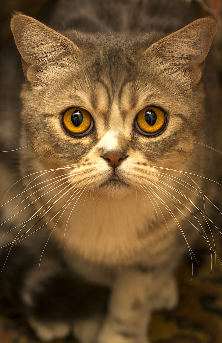 close up photography of grey tabby cat