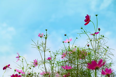 purple cosmos flower in bloom at daytime