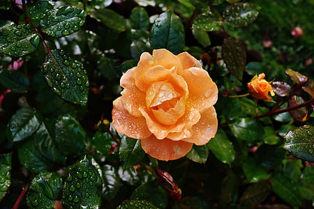 orange rose with dew drops at daytime