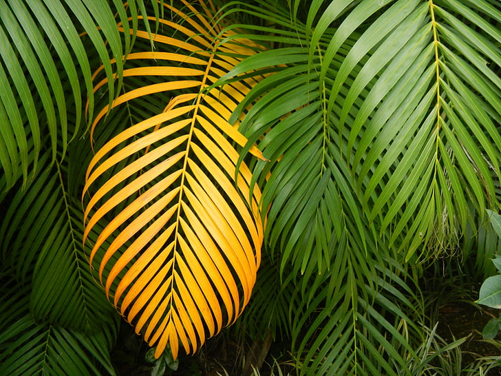 royalty free photo yellow palm leaves surrounded by green palm