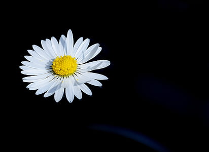 white daisy flower with black background