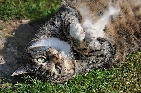 photo of silver tabby ca lying on grass