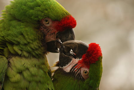 selective focus photography of red-fronted macaws