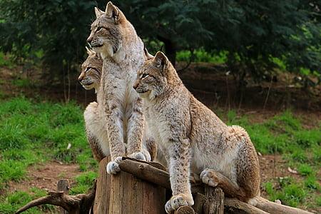 three brown cheetah on brown wood