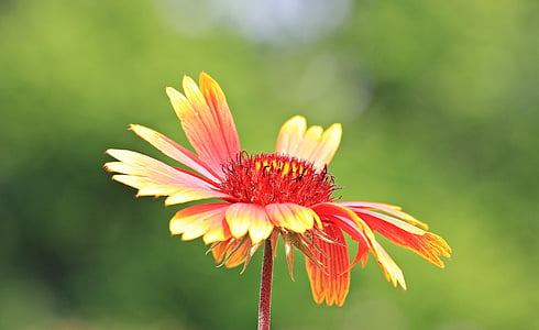 shallow focus photography of yellow and red blanket flower