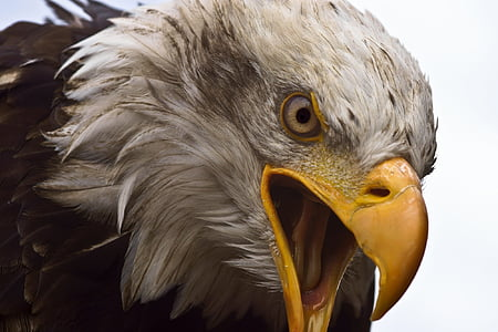 closeup photography of bald eagle